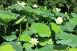 Hồ sen Trắng - xóm Thượng